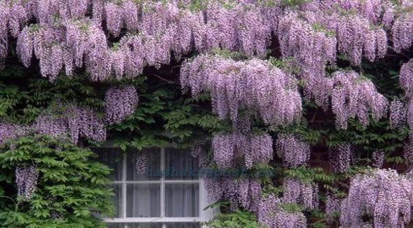 Плетущие многолетние цветы в саду